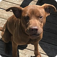 Labrador Retriever Mix Dog for adoption in Rowayton, Connecticut - Star Ginger Great with Toddlers and Dogs!