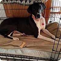 Adopt A Pet :: Athena - Oswego, IL