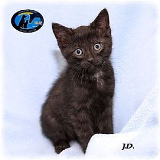 Domestic Mediumhair Kitten for adoption in Howell, Michigan - JD