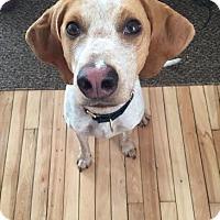 Adopt A Pet :: Josie - East Randolph, VT