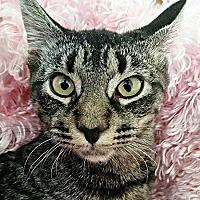 Domestic Shorthair Kitten for adoption in Petersburg, Virginia - Tigress