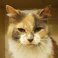 Domestic Longhair Cat for adoption in Dundee, Michigan - Clementine