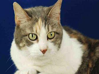 Manx Cat for adoption in Fort Collins, Colorado - BRIAR ROSE