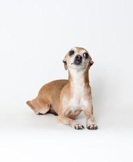 Italian Greyhound Mix Dog for adoption in Providence, Rhode Island - Destiny