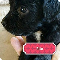 Adopt A Pet :: Maggie Puppy - Rita - Clear Lake, IA