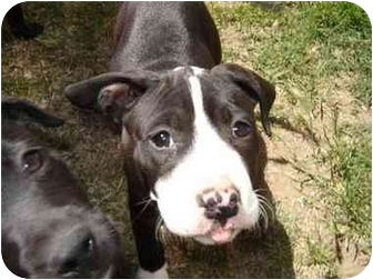 American Bulldog/Labrador Retriever Mix Puppy for adoption in Burbank, California - ROXY