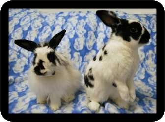 Jersey Wooly Mix for adoption in Scottsdale, Arizona - David & Merlin