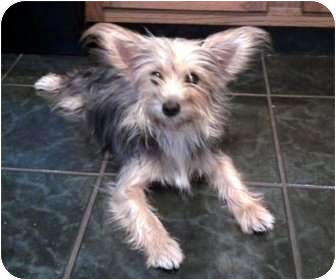 Yorkie, Yorkshire Terrier Dog for adoption in Brazil, Indiana - Thelma