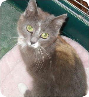 Manx Kitten for adoption in Cincinnati, Ohio - Mini Manx Mabrey