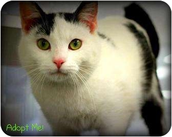 Domestic Shorthair Cat for adoption in mishawaka, Indiana - Cookie - PAWMART