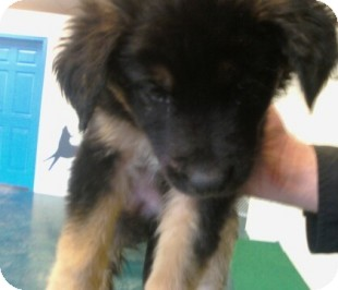 German Shepherd Dog/Labrador Retriever Mix Puppy for adoption in Reno, Nevada - Snoops