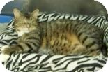 Domestic Shorthair Cat for adoption in Summerville, South Carolina - Buster