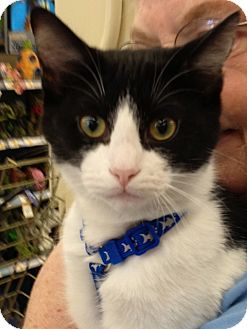 Domestic Shorthair Cat for adoption in Olive Branch, Mississippi - Ozzie-a Home 4 the Holidays!