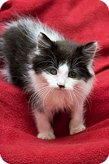 Domestic Longhair Kitten for adoption in Chicago, Illinois - Butterball