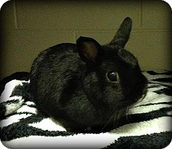 Netherland Dwarf Mix for adoption in Williston, Florida - Moochi
