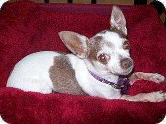 Chihuahua Dog for adoption in Edmond, Oklahoma - Tooty