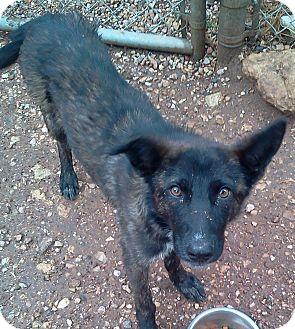 Shepherd (Unknown Type)/Sheltie, Shetland Sheepdog Mix Dog for adoption in Sedona, Arizona - Macchiato