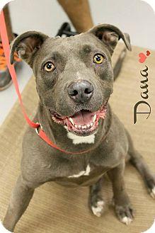 Pit Bull Terrier Mix Dog for adoption in Phoenix, Arizona - Dana