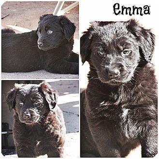 Golden Retriever/Labrador Retriever Mix Puppy for adoption in Glastonbury, Connecticut - Emma