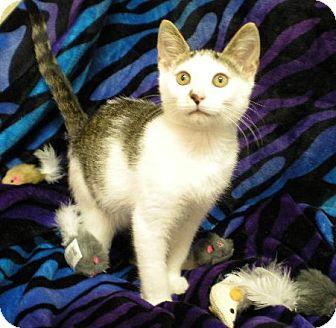 Domestic Shorthair Kitten for adoption in New Castle, Pennsylvania - Slinky