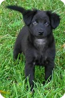 Flat-Coated Retriever/Shepherd (Unknown Type) Mix Puppy for adoption in Lincolnton, North Carolina - Sadie