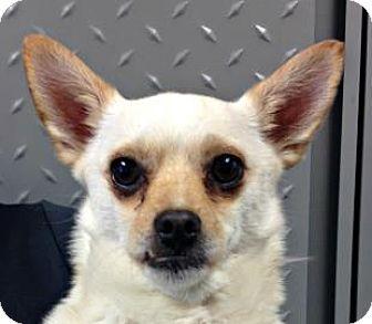 Chihuahua Mix Dog for adoption in Mt. Pleasant, Michigan - Bilbo