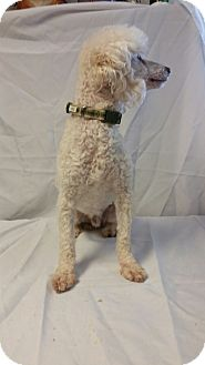 Poodle (Miniature) Dog for adoption in Yelm, Washington - Jag