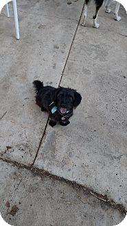 Scottie, Scottish Terrier/Dachshund Mix Dog for adoption in Simi Valley, California - Scotty