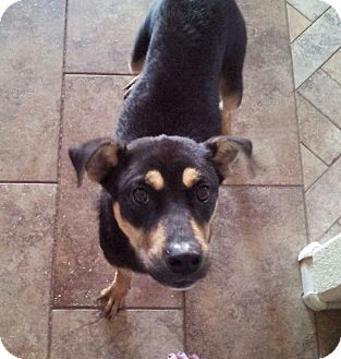 Australian Shepherd Mix Dog for adoption in Chandler, Arizona - Sasha