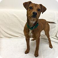Adopt A Pet :: Harley Quinn - Mission Viejo, CA