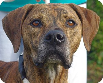 Rhodesian Ridgeback Mix Dog for adoption in Daytona Beach, Florida - Luke