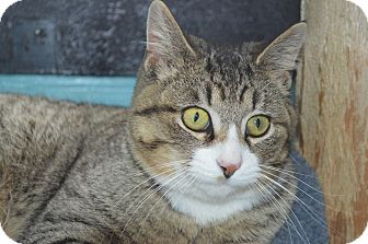Domestic Shorthair Cat for adoption in Monroe, Michigan - Benny