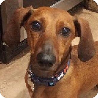 Dachshund Dog for adoption in Houston, Texas - Morty Mewtwo