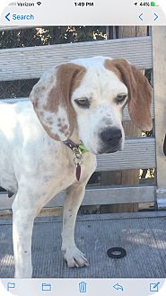 Beagle/Boxer Mix Dog for adoption in Washington, D.C. - Liberty  (ETAA)