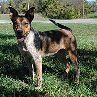 Australian Cattle Dog Mix Dog for adoption in Parsons, Kansas - London