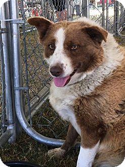 Border Collie Dog for adoption in Phelan, California - Lily