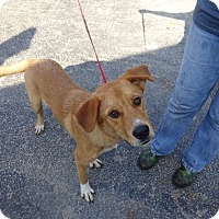 Adopt A Pet :: Boots - Delaware, OH