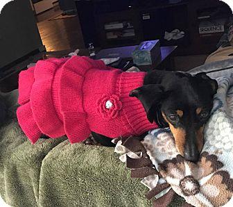 Dachshund Mix Dog for adoption in Marcellus, Michigan - Maggie-Adoption Pending