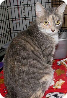 Domestic Shorthair Cat for adoption in New Kensington, Pennsylvania - Uma