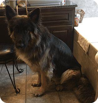 German Shepherd Dog Dog for adoption in Dripping Springs, Texas - Mazerati (Mazi)-Referral