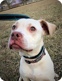 American Pit Bull Terrier/Labrador Retriever Mix Dog for adoption in Salem, Oregon - Gabby
