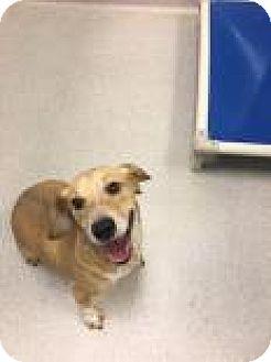 Beagle Mix Dog for adoption in Columbus, Georgia - Buddy 2898