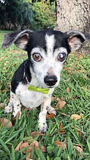 Dachshund Dog for adoption in Weston, Florida - Buddy