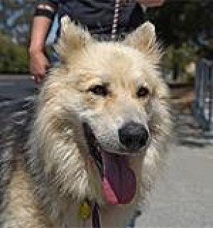 Alaskan Malamute Mix Dog for adoption in Pt. Richmond, California - NIKI