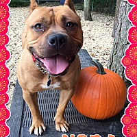 Staffordshire Bull Terrier Mix Dog for adoption in Tinton Falls, New Jersey - NORA
