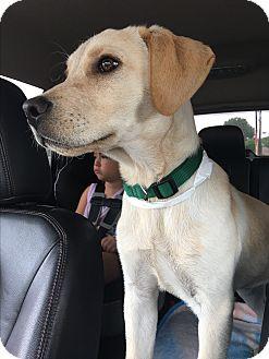 Labrador Retriever Mix Puppy for adoption in New York, New York - Chris