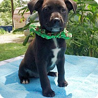 Adopt A Pet :: Abigail Pup #3 - Olive Branch, MS