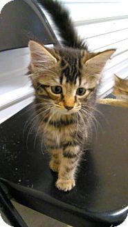 Domestic Longhair Kitten for adoption in Fort Scott, Kansas - York