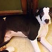 Adopt A Pet :: Danville Geronimo - Chantilly, VA