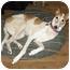 Photo 1 - Greyhound Dog for adoption in Portland, Oregon - Sadie
